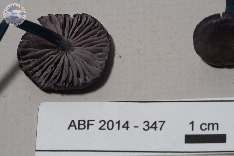 ABF-2014-347 Entoloma decolorans