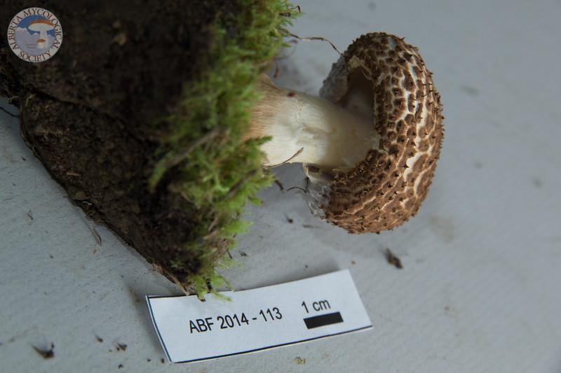ABF-2014-113 Echinoderma asperum
