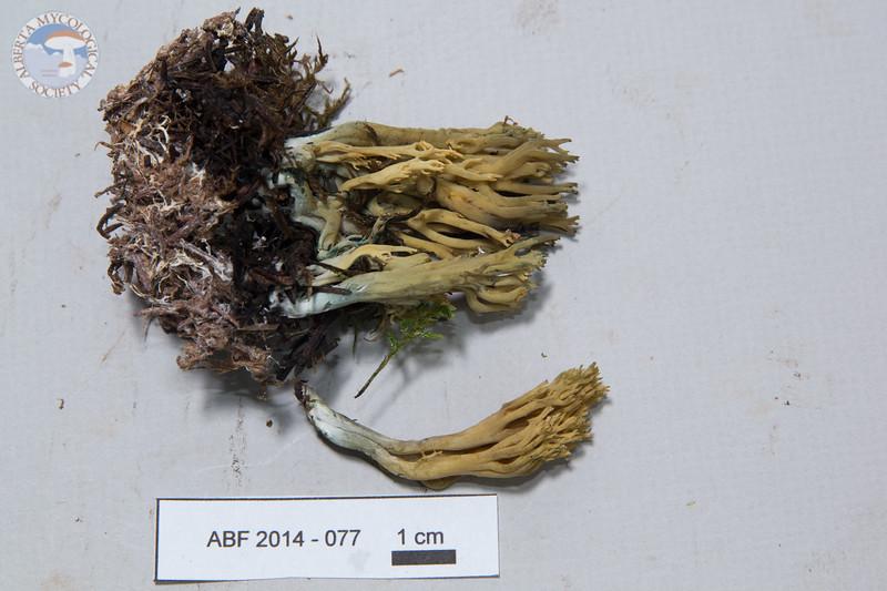 ABF-2014-077 Ramaria myceliosa