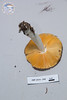 ABF-2014-040 Russulacf. sphagnophila