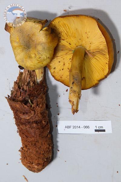 ABF-2014-066 Tricholomopsis decora
