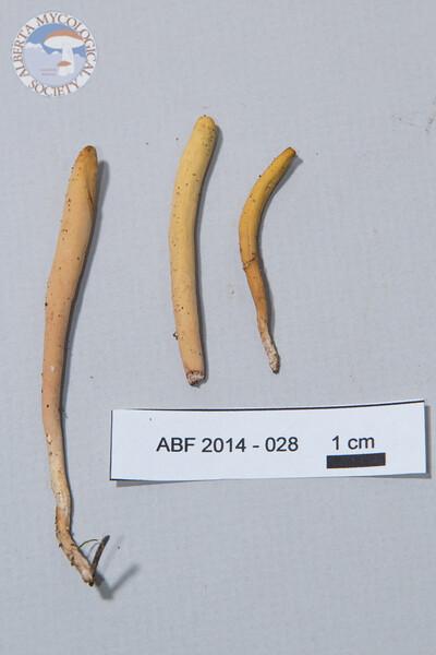 ABF-2014-028 Clavariadelphus ligula