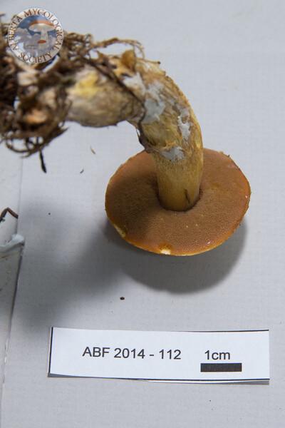 ABF-2014-112 Suillus tomentosus