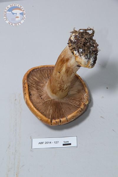 ABF-2014-127 Cortinarius bulbopodius