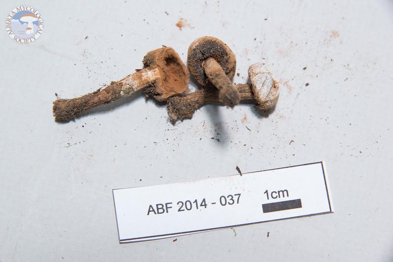ABF-2014-037 Russula queletii