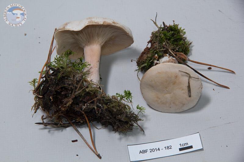 ABF-2014-182 Leucopaxillus piceinus
