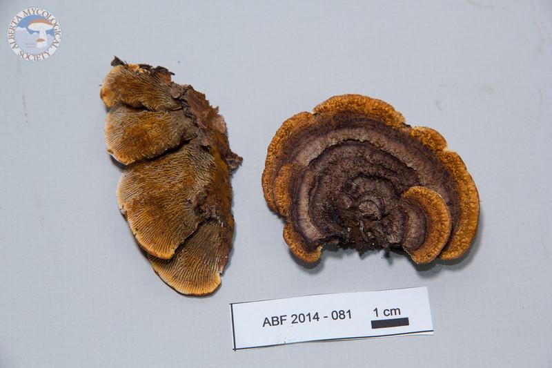 ABF-2014-081 Gloeophyllum sepiarium
