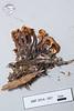 ABF-2014-057 Connopus acervatus
