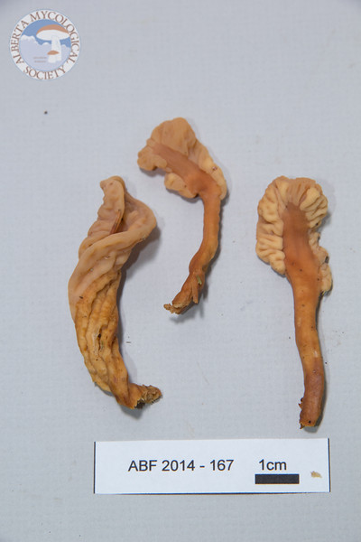 ABF-2014-167 Pachycudonia spathulata