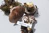 ABF-2014-008 Gomphidius glutinosus