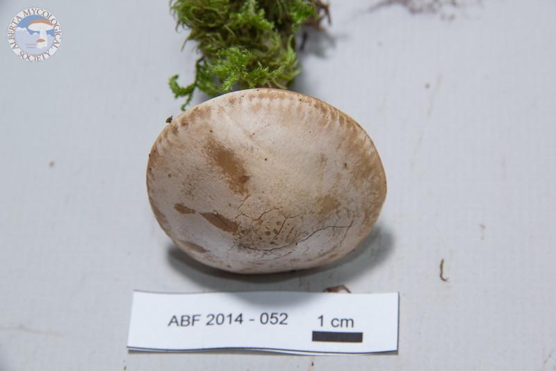 ABF-2014-052 Lepista irina
