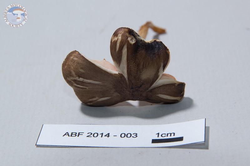 ABF-2014-003 Pluteus sp.