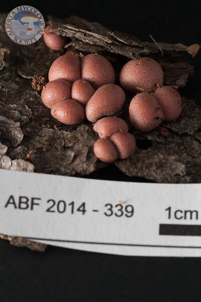 ABF-2014-339 Lycogala epidendrum