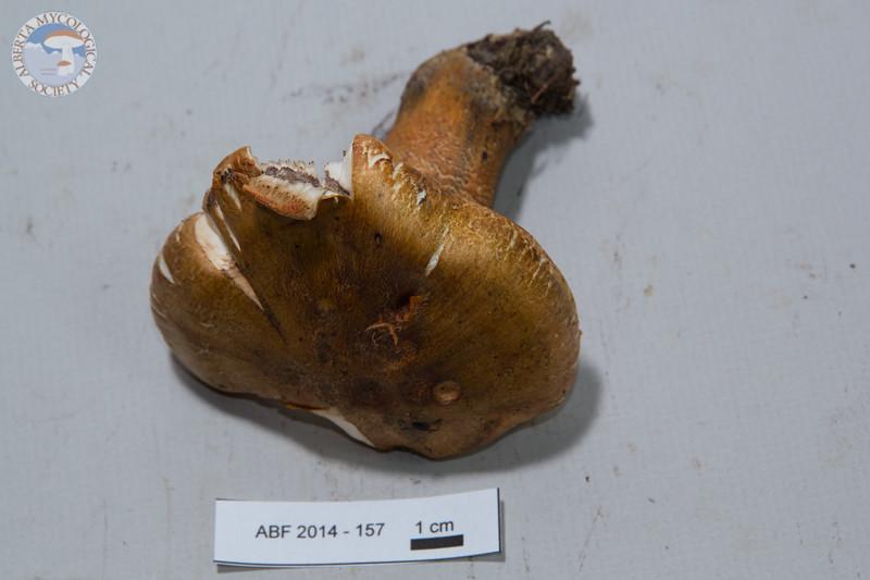 ABF-2014-157 Tricholoma aurantium