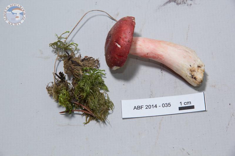 ABF-2014-035 Russula queletii
