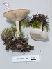 ABF-2014-191 Clitocybe fragrans