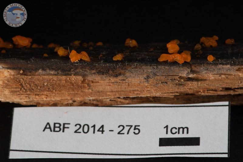 ABF-2014-275 Dacrymyces chrysospermus