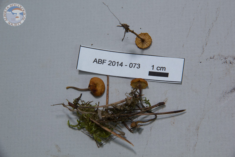 ABF-2014-073 Xeromphalina cauticinalis