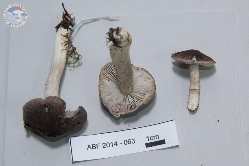 ABF-2014-063 Tricholoma terreum