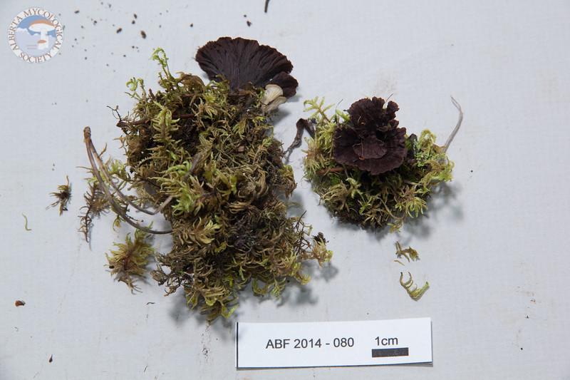 ABF-2014-080 Thelephora terrestris