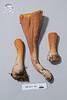 ABF-2014-023 Clavariadelphus truncatus