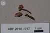 ABF-2014-017 Tulostoma cf. fimbriatum