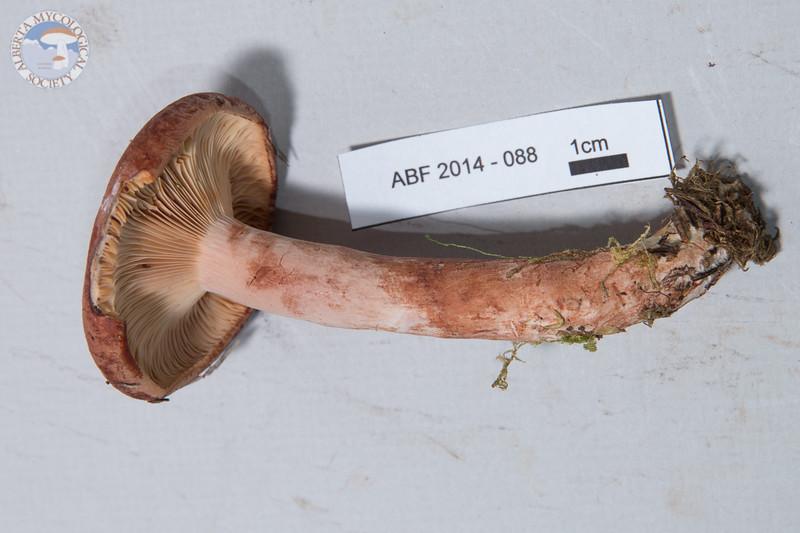 ABF-2014-088 Lactarius rufus