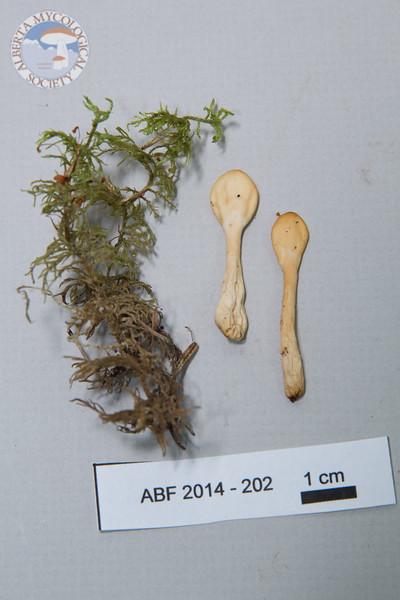 ABF-2014-202 Spathularia cf. flavida