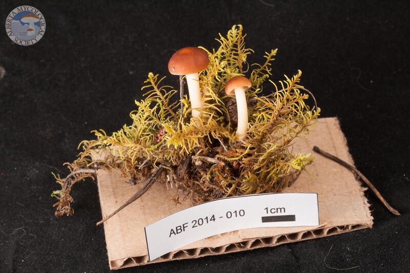 ABF-2014-010 Gymnopus dryophilus