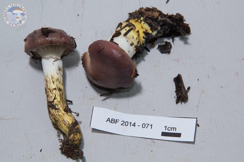 ABF-2014-071 Gomphidius glutinosus var. glutinosus