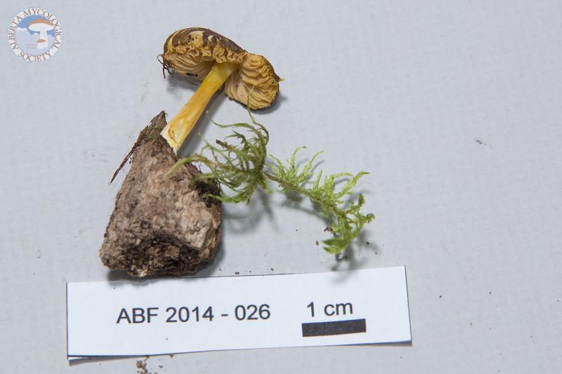 ABF-2014-026 Pluteus luteus