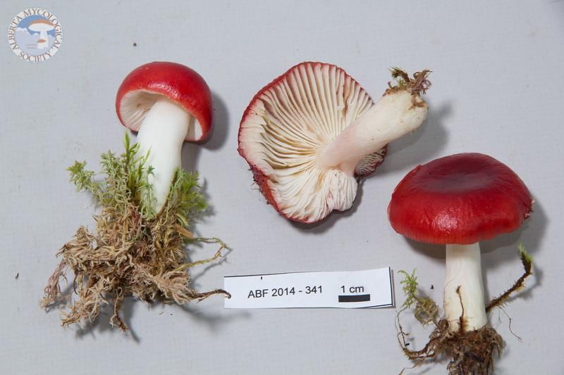 ABF-2014-341 Russula emetica