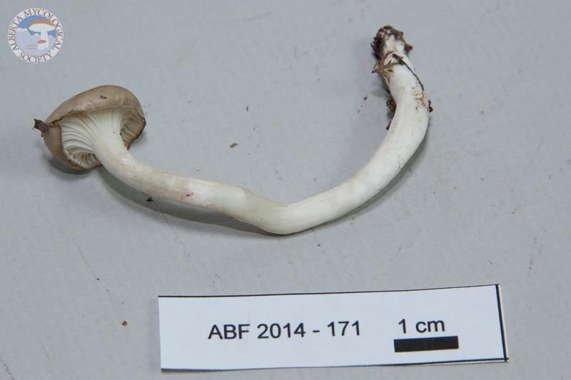 ABF-2014-171 Hygrophorus camarophyllus
