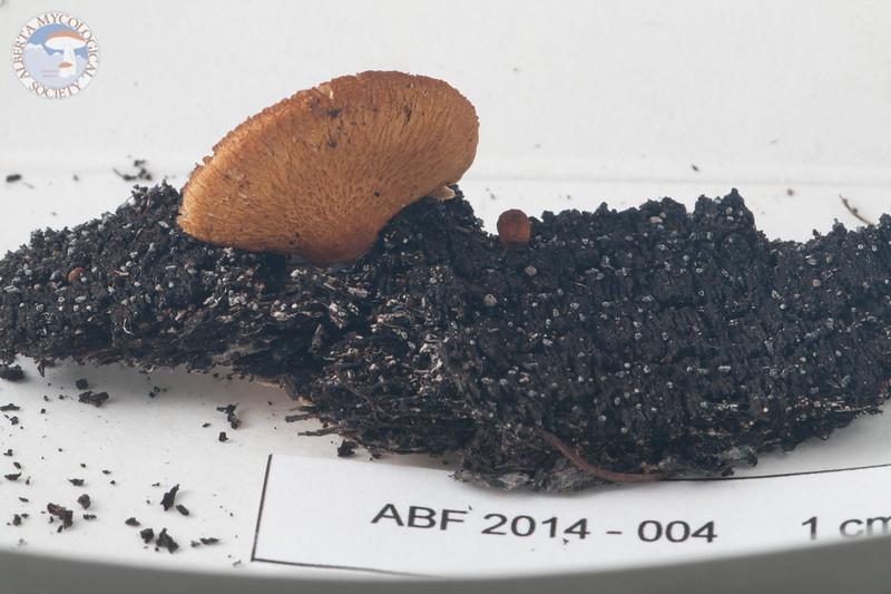ABF-2014-004 Crepidotus mollis