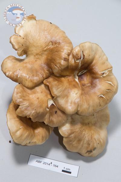 ABF-2014-164 Lyophyllum decastes