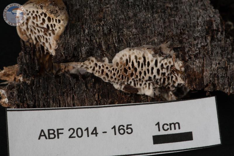 ABF-2014-165 Coriolopsis gallica