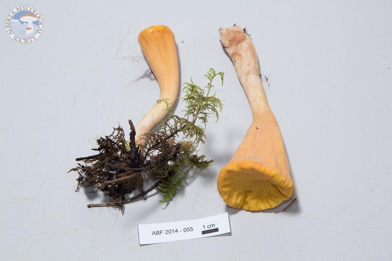 ABF-2014-055 Clavariadelphus truncatus