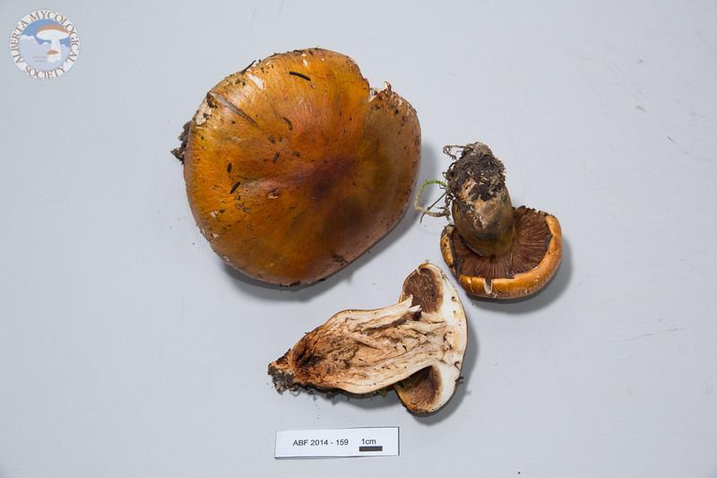 ABF-2014-159 Tricholoma aurantium