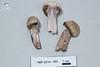 ABF-2014-092 Cortinarius alboviolaceus