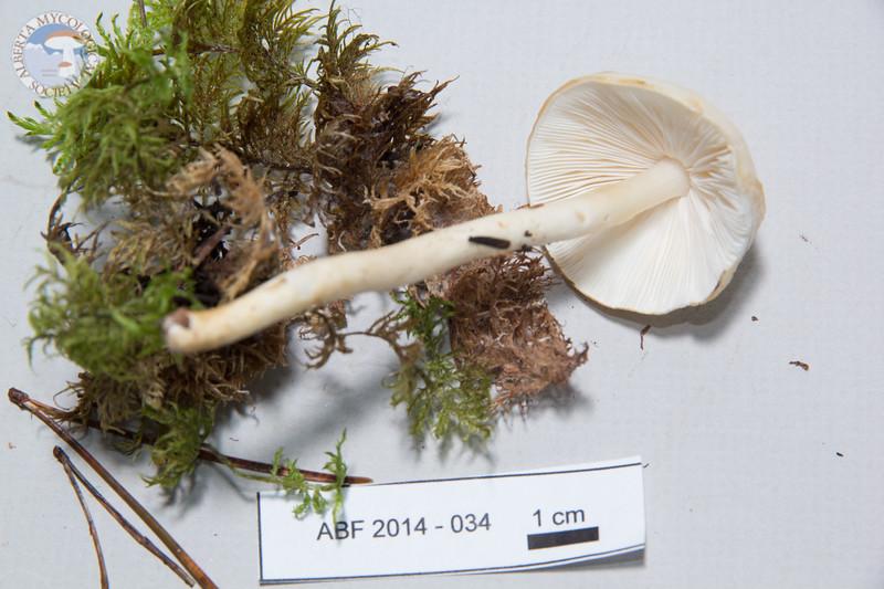 ABF-2014-034 Limacella illinita