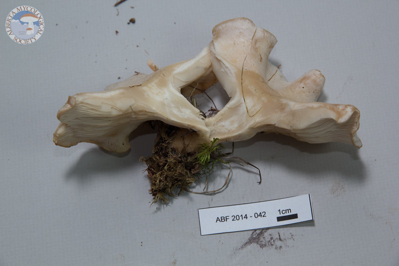 ABF-2014-042 Clitocybe dealbata
