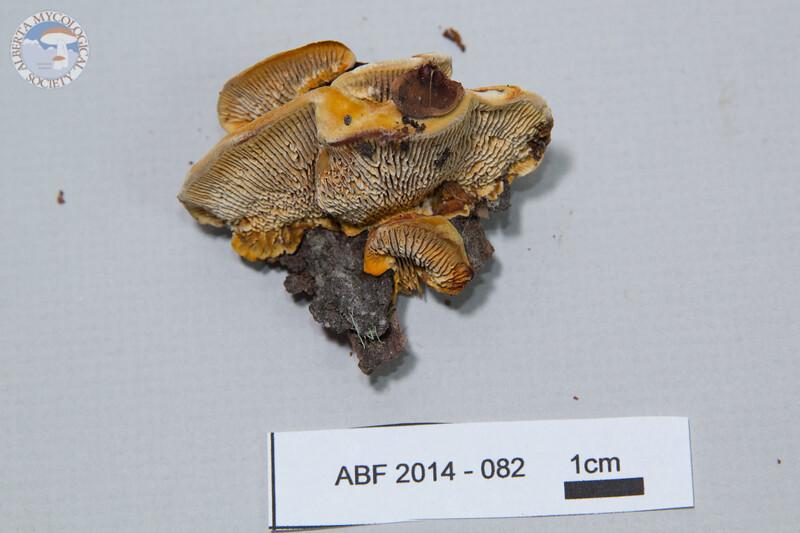 ABF-2014-082 Gloeophyllum sepiarium