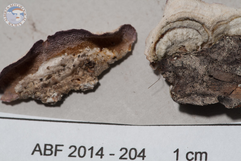 ABF-2014-204 Trichaptum abietinum