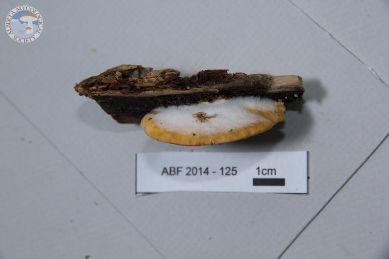 ABF-2014-125 Phyllotopsis nidulans