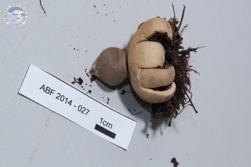ABF-2014-027 Geastrum fimbriatum
