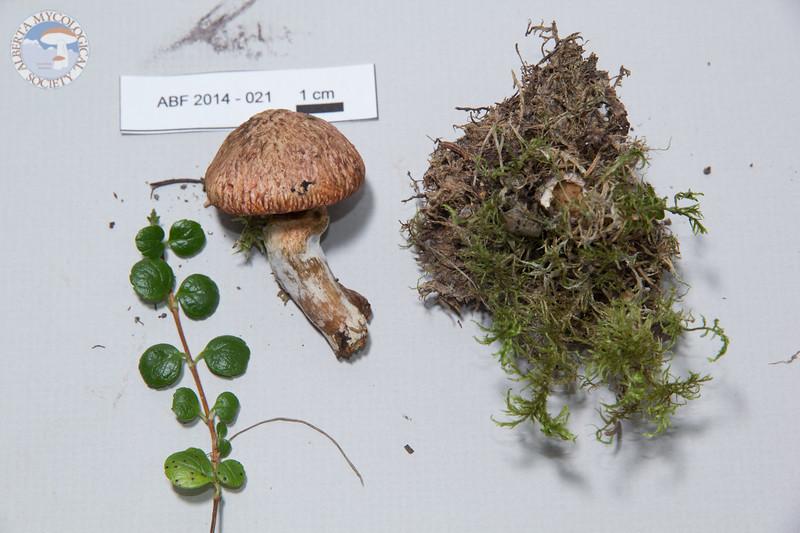 ABF-2014-021 Suillus lakei
