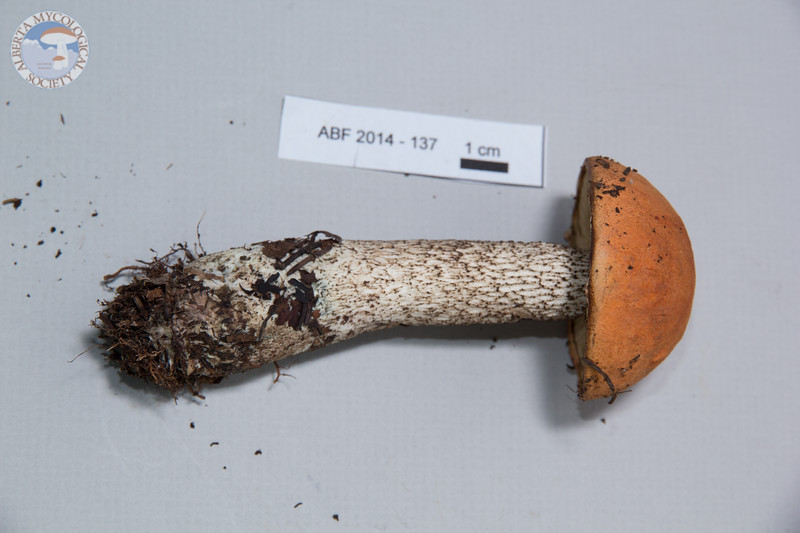 ABF-2014-137 Leccinum vulpinum
