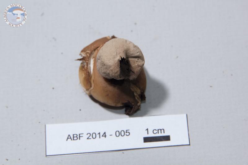 ABF-2014-005 Geastrum saccatum
