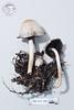 ABF-2014-009 Marasmius epiphyllus