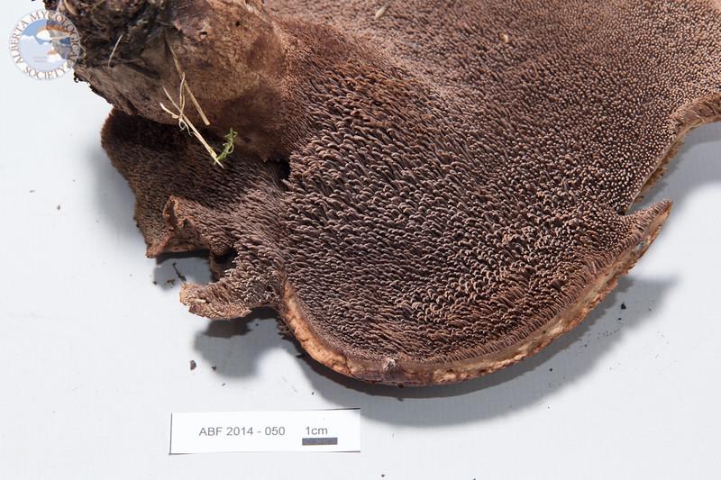ABF-2014-050 Sarcodon imbricatus